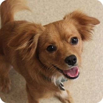 Cocker Spaniel Mix Dog for adoption in Naperville, Illinois - Ruby