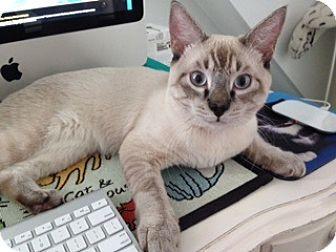 Siamese Kitten for adoption in Freeport, New York - Sushi