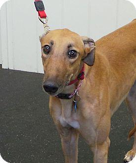 Greyhound Dog for adoption in Glastonbury, Connecticut - Lacey