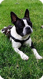 French Bulldog/Boston Terrier Mix Dog for adoption in Columbus, Ohio - Tucker