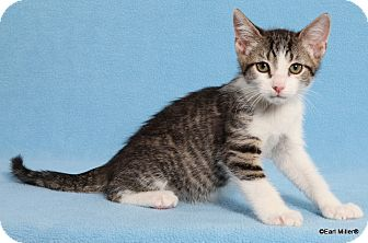 Domestic Shorthair Cat for adoption in Las Vegas, Nevada - Marty