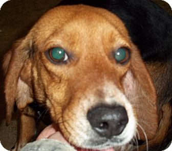 Beagle Dog for adoption in Greenville, Kentucky - Betsy