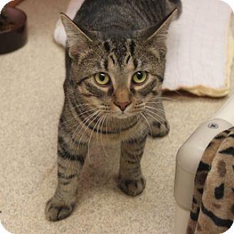 Domestic Shorthair Cat for adoption in Naperville, Illinois - Yuri