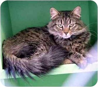 Domestic Longhair Cat for adoption in Coleraine, Minnesota - Phoebe