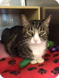 Domestic Shorthair Cat for adoption in Overland Park, Kansas - Sally