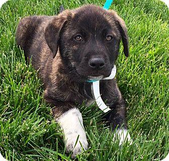Australian Shepherd/Labrador Retriever Mix Puppy for adoption in Oswego, Illinois - I'M ADPTD Jack &  Jill Jack St