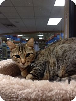 Domestic Shorthair Cat for adoption in San Leandro, California - Marcie