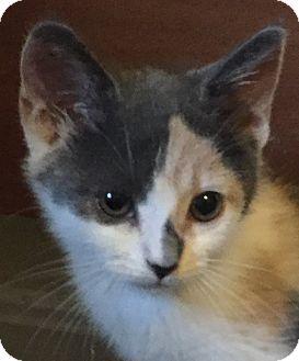 Calico Kitten for adoption in Arlington, Virginia - Athena