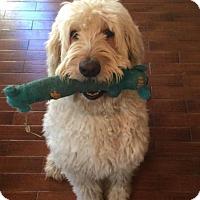 Adopt A Pet :: Theo - Whittier, CA