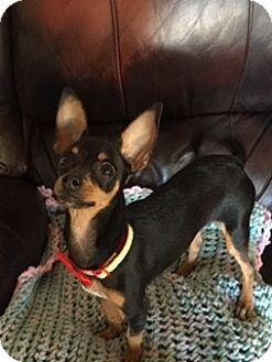 Chihuahua Mix Puppy for adoption in Las Vegas, Nevada - Pipsqueak