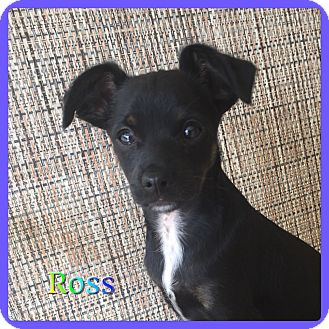 Terrier (Unknown Type, Small) Mix Puppy for adoption in Hollywood, Florida - Ross