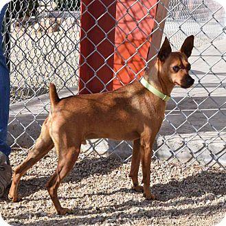 Miniature Pinscher Dog for adoption in Sierra Vista, Arizona - Red