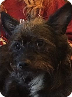 Cairn Terrier Mix Dog for adoption in Hainesville, Illinois - Donner