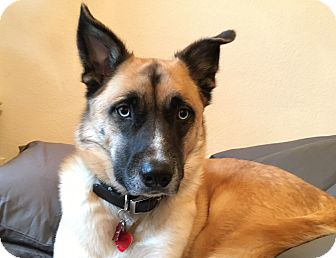 Anatolian Shepherd/Husky Mix Dog for adoption in Dallas, Texas - Hawk