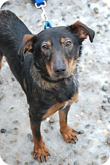 Shepherd (Unknown Type) Mix Dog for adoption in Berea, Ohio - Berry