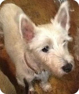 Westie, West Highland White Terrier Dog for adoption in Rye, New Hampshire - Spirit