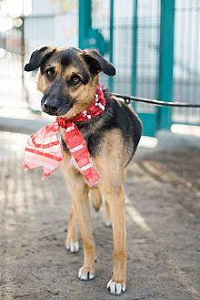 Shepherd (Unknown Type)/Greyhound Mix Dog for adoption in Los Angeles, California - Cute Dobie-VIDEO