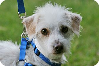 Terrier (Unknown Type, Small) Mix Dog for adoption in Carlsbad, California - Riley