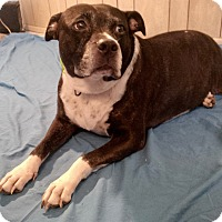 American Staffordshire Terrier Mix Dog for adoption in Ft Myers Beach, Florida - Need temporary help!!