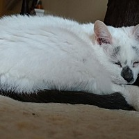 Adopt A Pet :: Lacy Jane - Hazel Park, MI