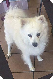 American Eskimo Dog Dog for adoption in Las Vegas, Nevada - Buddy
