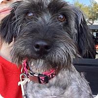 Adopt A Pet :: Amelie - Las Vegas, NV
