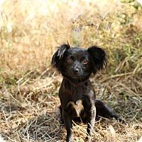 Adopt A Pet :: Bambi - Auburn, CA