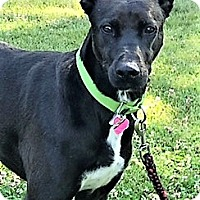 Adopt A Pet :: Mallory, energetic lab mix! - Snohomish, WA