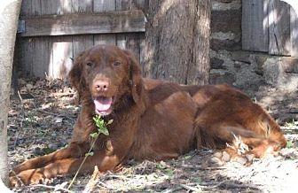 Irish Setter Dog for adoption in Denton, Texas - Flannigan