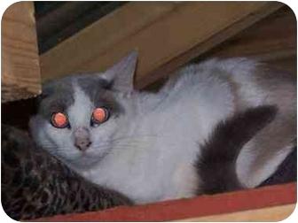 Domestic Mediumhair Cat for adoption in Winnsboro, South Carolina - Murial