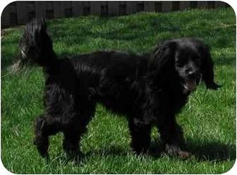 Cocker Spaniel Mix Dog for adoption in Fenton, Missouri - ZOE