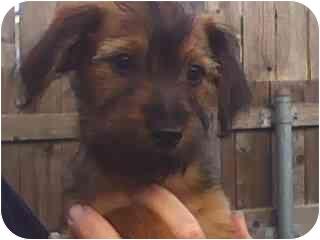 Norfolk Terrier/Dandie Dinmont Terrier Mix Puppy for adoption in El Segundo, California - Angelina