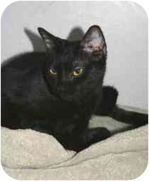 Domestic Shorthair Cat for adoption in Marietta, Georgia - Lindsey