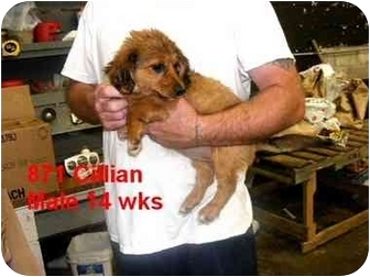 Terrier (Unknown Type, Medium) Mix Puppy for adoption in Rochester, New Hampshire - Cillian