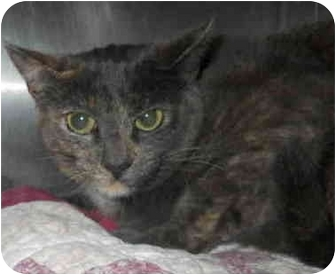 Domestic Shorthair Cat for adoption in San Clemente, California - ARIELLE
