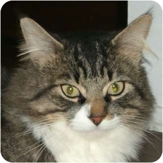 Domestic Mediumhair Cat for adoption in Toronto, Ontario - *Pepsi