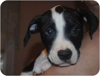 Pit Bull Terrier Mix Puppy for adoption in Medford, New Jersey - Parker