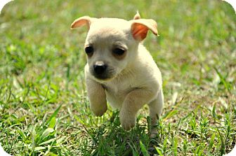 Chihuahua Mix Puppy for adoption in Houston, Texas - Rozzi