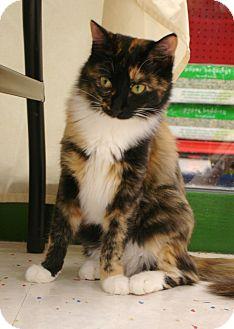 Calico Kitten for adoption in Fountain Hills, Arizona - FIONA