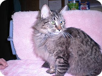 """Maine Coon Cat for adoption in New Castle, Pennsylvania - """" Sabrina """""""
