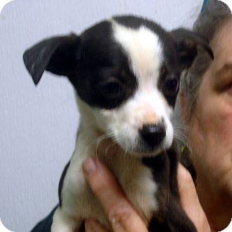 Jack Russell Terrier Mix Puppy for adoption in Manassas, Virginia - Montgomery