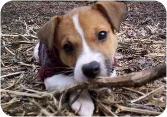 Jack Russell Terrier/Parson Russell Terrier Mix Puppy for adoption in Louisville, Kentucky - FOSTER HOMES NEEDED!!