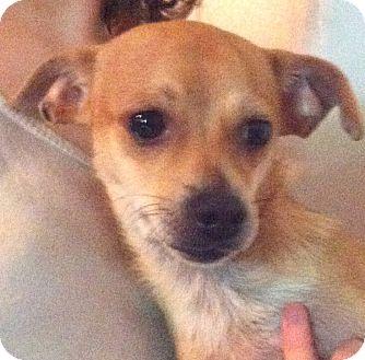Chihuahua/Dachshund Mix Puppy for adoption in Orlando, Florida - Floyd