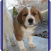 Adopt A Pet :: Wallace - Brattleboro, VT