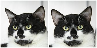 Domestic Shorthair Cat for adoption in Forked River, New Jersey - Gambit
