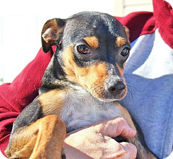 Miniature Pinscher/Chihuahua Mix Dog for adoption in Union City, Tennessee - Winston