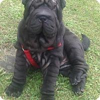 Adopt A Pet :: Drogo - Newport, VT