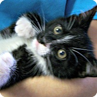 Adopt A Pet :: Tux - Toledo, OH