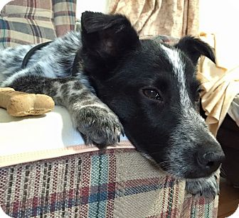 Blue Heeler Mix Puppy for adoption in Lima, Pennsylvania - Taz