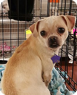 Pug/Chihuahua Mix Dog for adoption in Hurst, Texas - Marcella